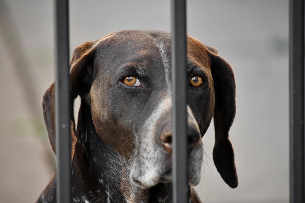 krásný obraz, oči, lovecký pes, světle hnědá, hledáte, psí, ohař, pes, domácí zvíře, plemeno