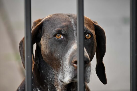 beautiful image, eyes, hunting dog, light brown, looking, canine, hound, dog, pet, breed
