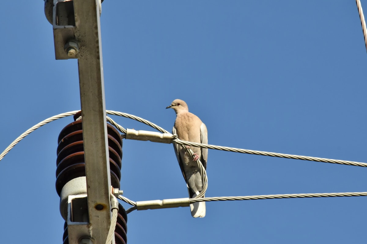 electricity, high, voltage, wires, dove, bird, beak, wildlife, feather, wire