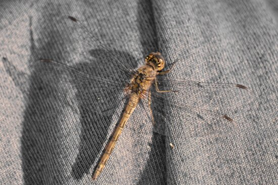 canvas, dragonfly, insect, knitwear, lacewing, wings, invertebrate, arthropod, nature, dark