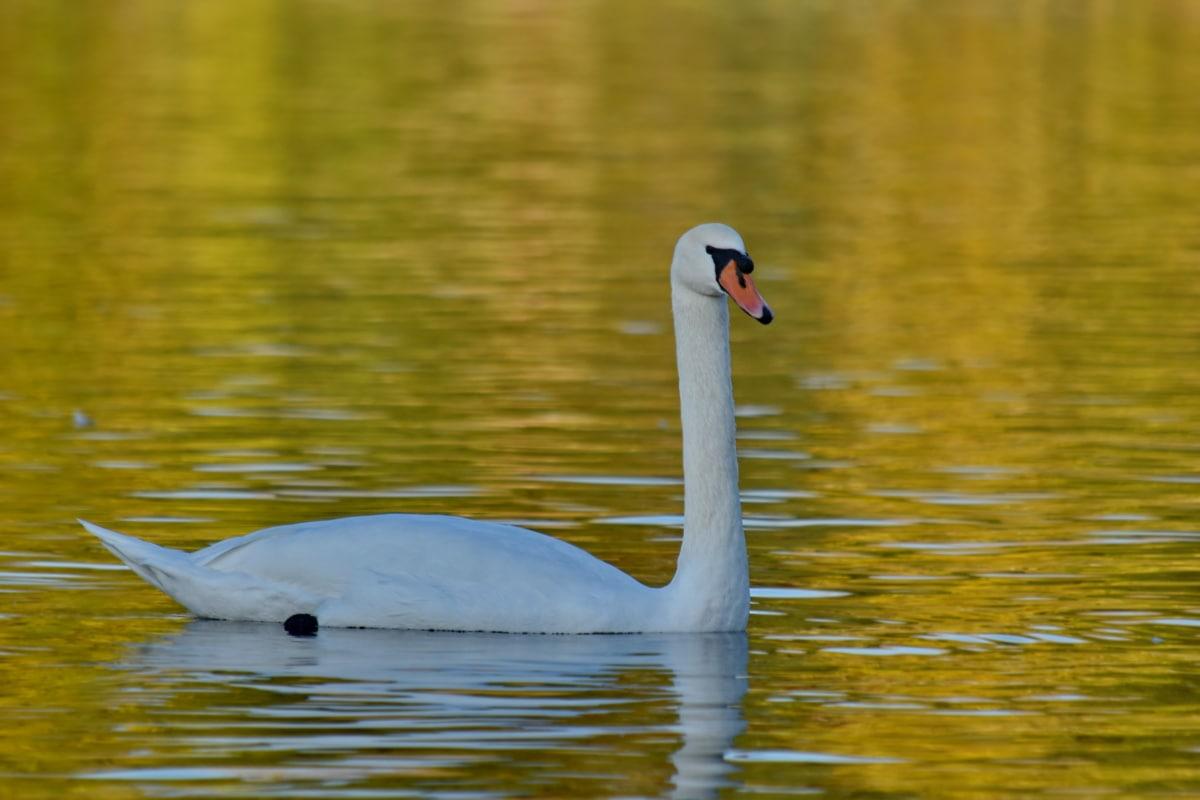 golden glow, reflection, swan, water, bird, aquatic bird, goose, lake, pool, nature