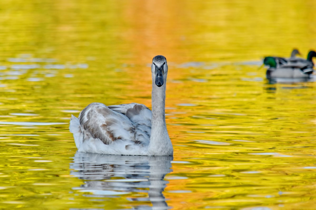 ducks, golden glow, natural habitat, reflection, swan, swimming, bird, water, waterfowl, nature