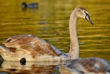 light brown, ornithology, swan, young, nature, lake, water, bird, pool, wildlife