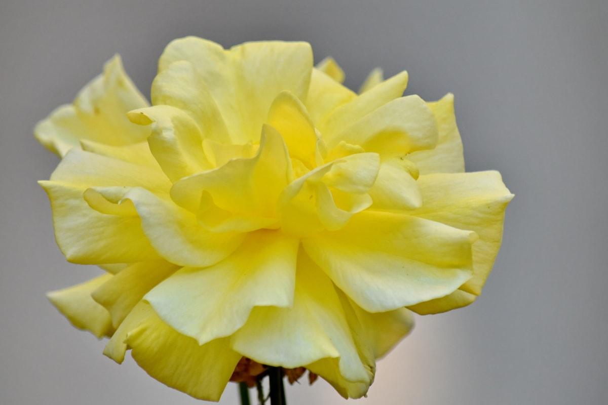 листенца, Градинарство, Роза, жълтеникаво, природата, разцвет, венчелистче, жълто, цвете, растителна