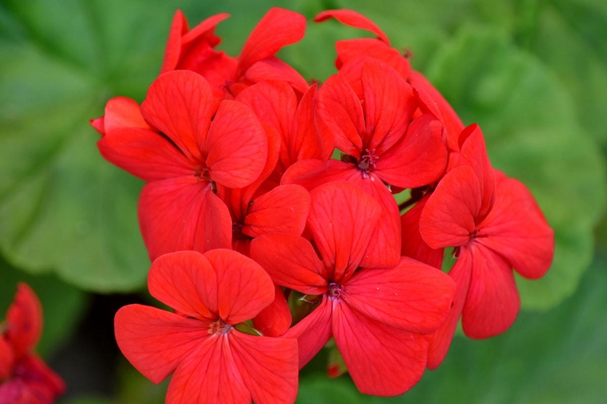 jardin fleuri, fleurs, rouge, étamine, géranium, feuille, fleur, flore, été, plante