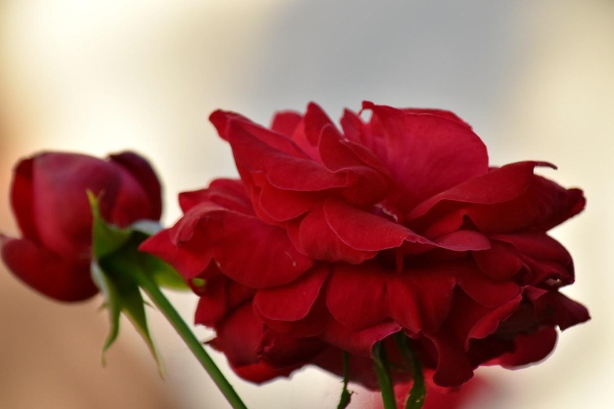 vackra blommor, detalj, romantik, ökade, blomma, kronblad, rosa, naturen, blad, flora