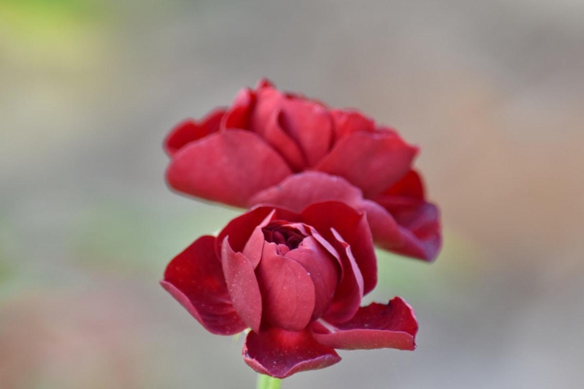 beautiful flowers, flower bud, focus, pastel, petals, reddish, rose, flower, petal, bud