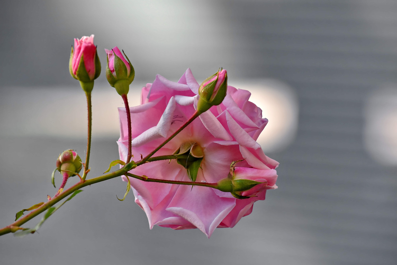 Gambar Gratis Indah Gambar Kuncup Bunga Fokus Merah Muda