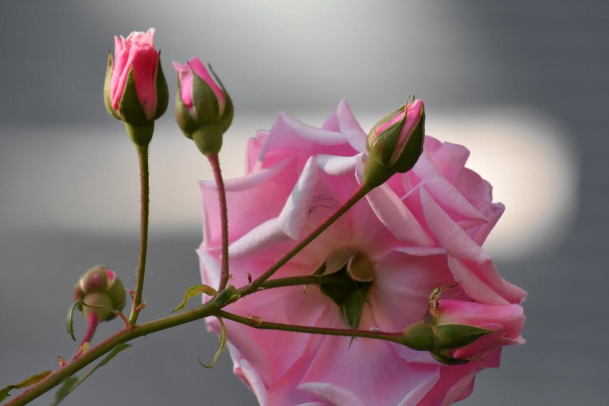 花のつぼみ, フラワー ガーデン, ピンク, バラ, ピンク, 花びら, 芽, 花, 自然, チューリップ