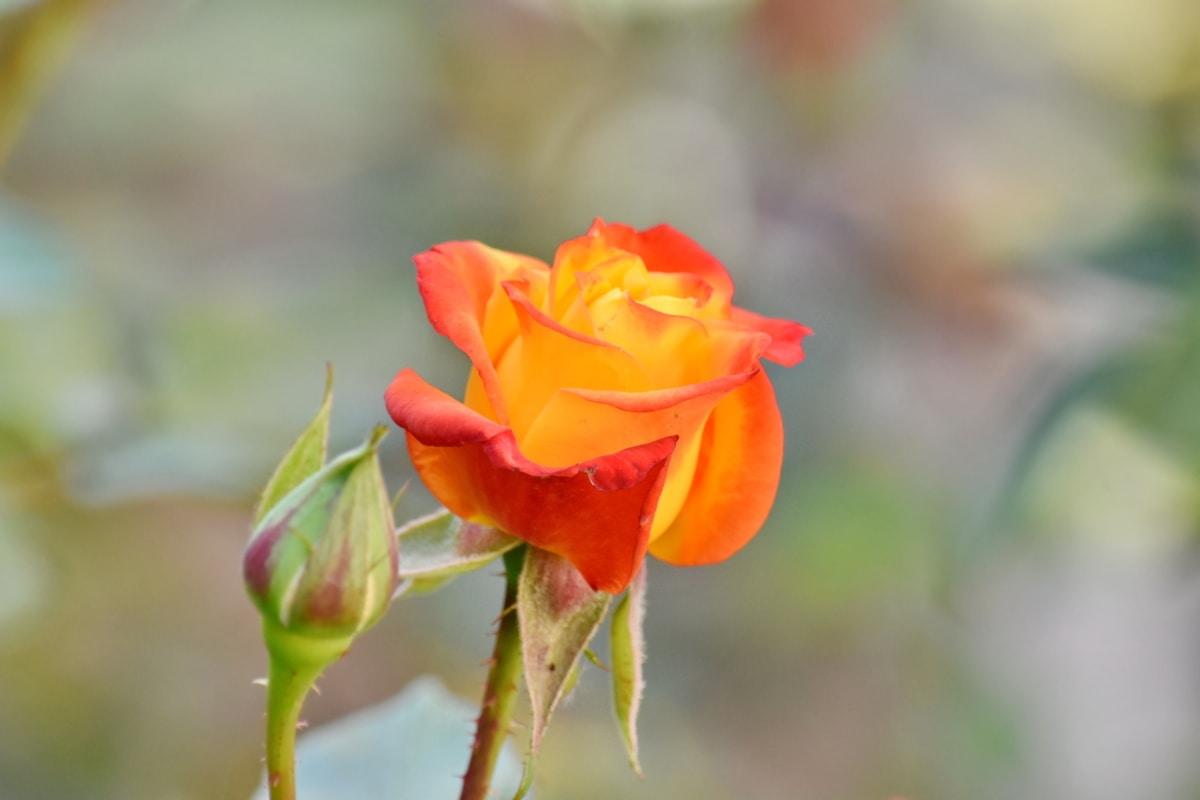 piękne kwiaty, Kolor, Kwiat pączek, Kwiat ogród, pomarańczowy, żółty, róże, kwiat, Natura, liść, ogród