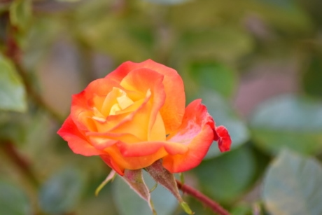 beautiful flowers, flower bud, flower garden, garden, horticulture, orange yellow, rose, shrub, plant, nature
