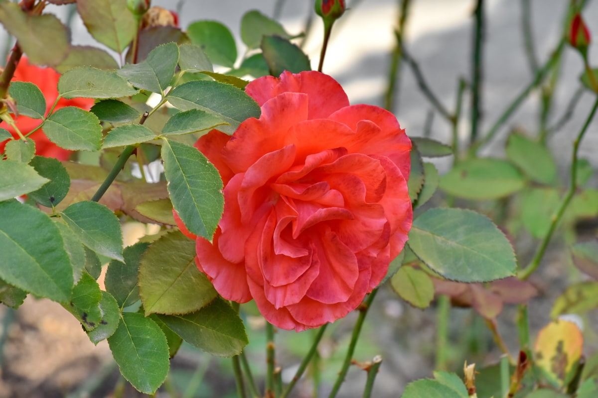 bloementuin, groene bladeren, roodachtig, rozen, plant, natuur, tuin, blad, steeg, struik