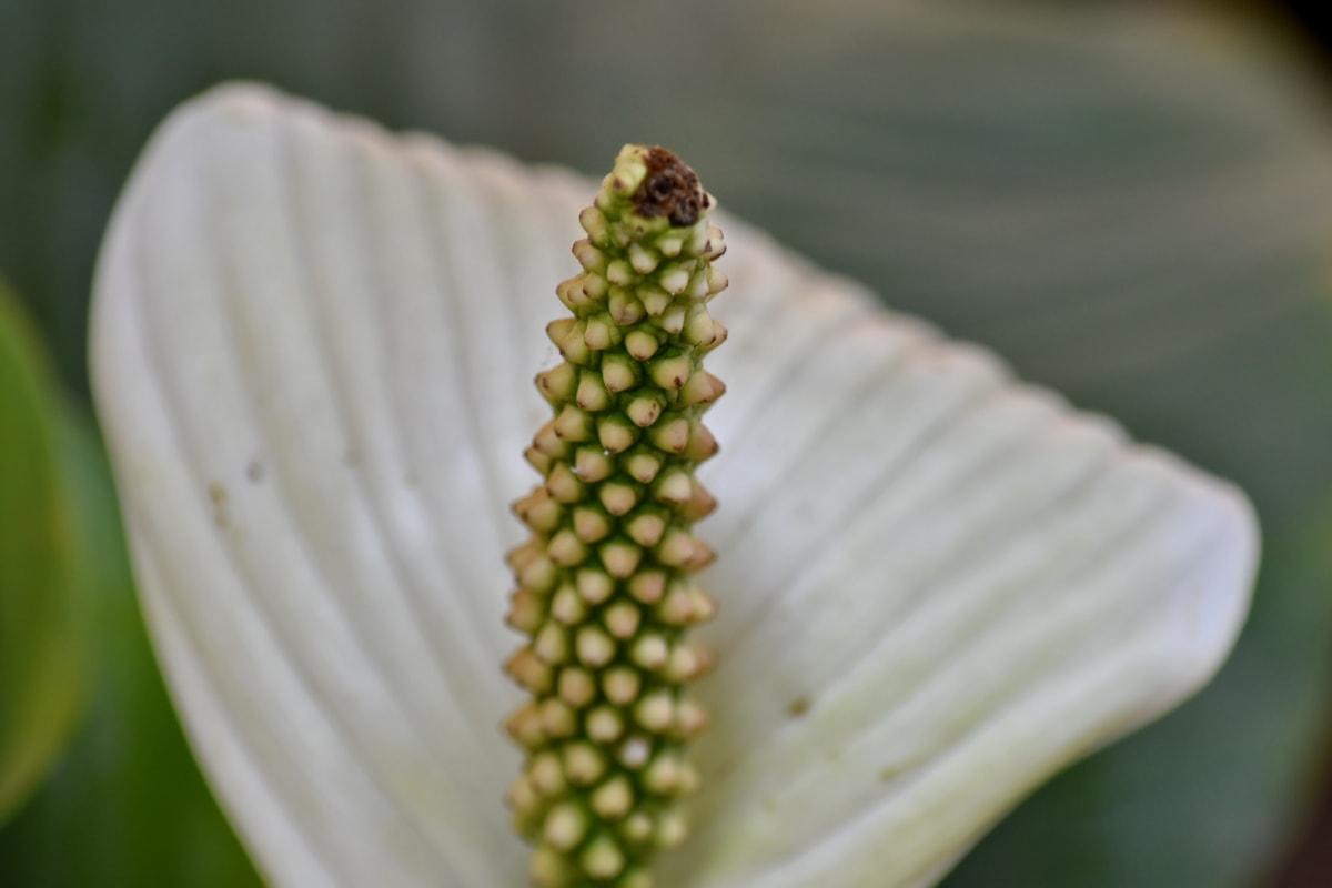 Brazil, egzotično, tučak, tropsko, bijeli cvijet, list, biljka, priroda, cvijet, flora