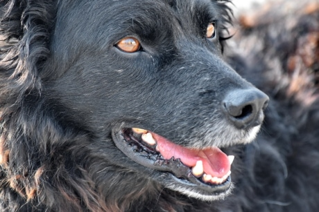 black, curious, dog, shepherd dog, tongue, pet, cute, animal, portrait, hair