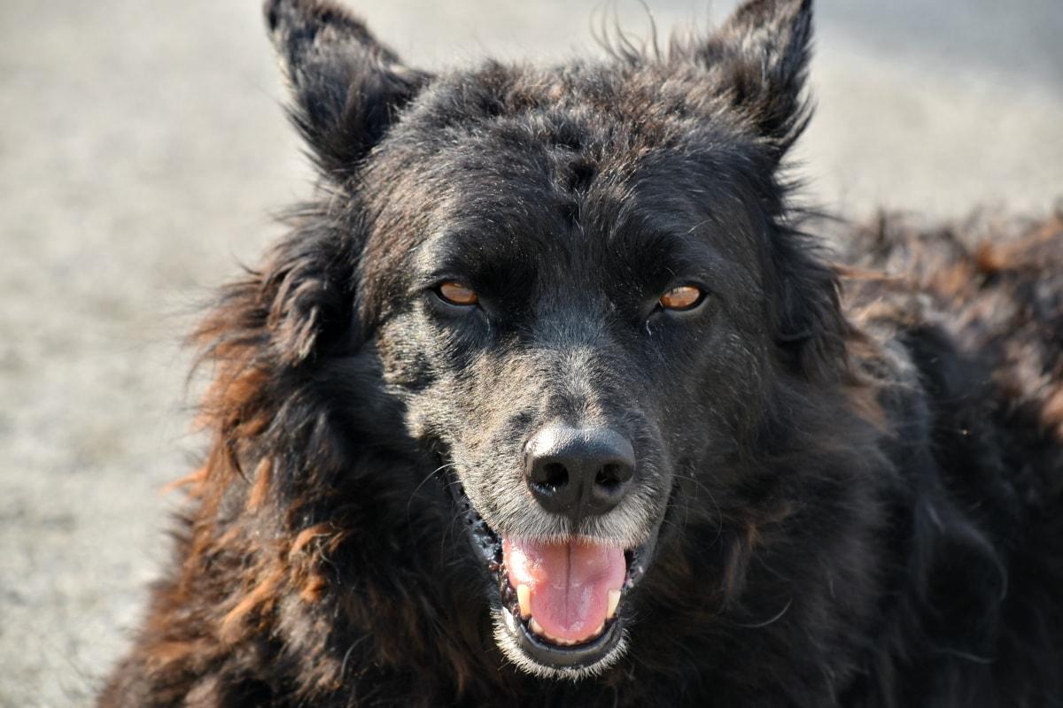 眼睛, 头, 鼻子, 肖像, 苏格兰牧羊犬, 牧羊犬, 狗, 牧羊狗, 犬, 宠物