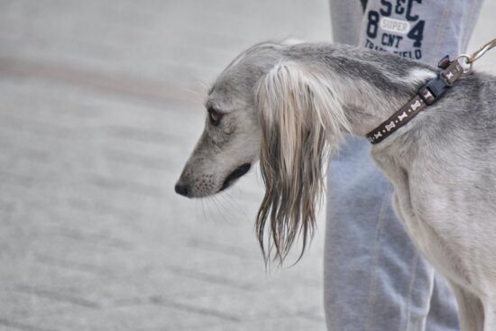 grey, hunting dog, hound, pet, cute, canine, winter, nature, dog, outdoors