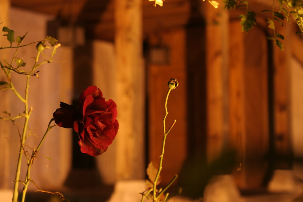 支店, ヒップ, ローズ, サンセット, とげ, 花, 葉, 自然, 光, ぼかし