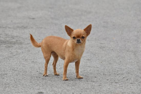 adorable, dog, light brown, miniature, small, pet, cute, domestic, puppy, animal