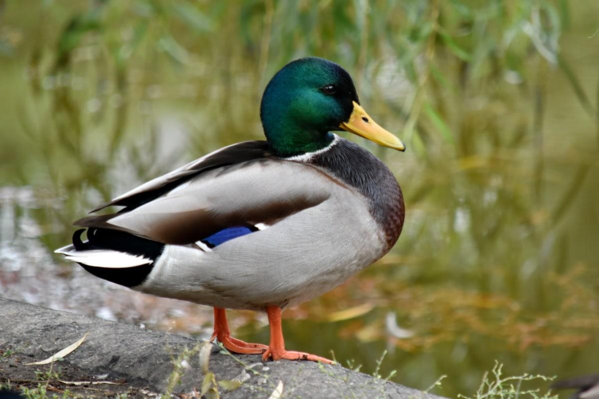 pato, ánade real, hábitat natural, vista lateral, pájaro, naturaleza, pluma, flora y fauna, pato pájaro, aves acuáticas