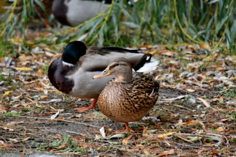 ducks, duck, outdoors, mallard, nature, wildlife, duck bird, waterfowl, bird, poultry