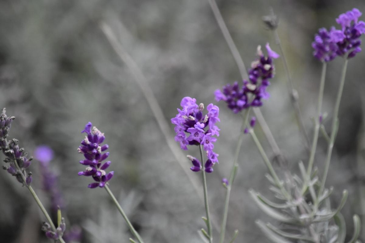 lavendel, lilla, vill blomst, urt, busk, hage, natur, flora, blomst, anlegget