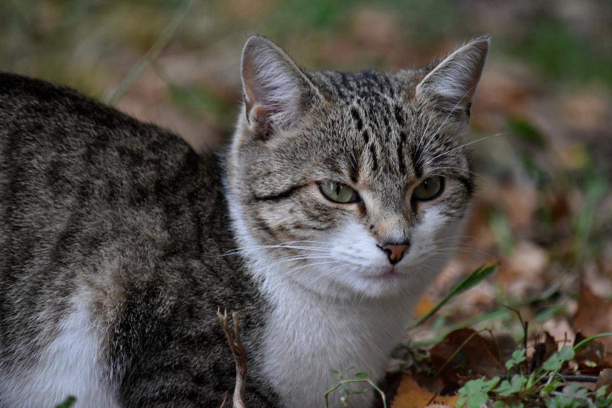 autumn season, curiosity, domestic cat, grass, purebred, feline, cat, tabby cat, animal, whisker