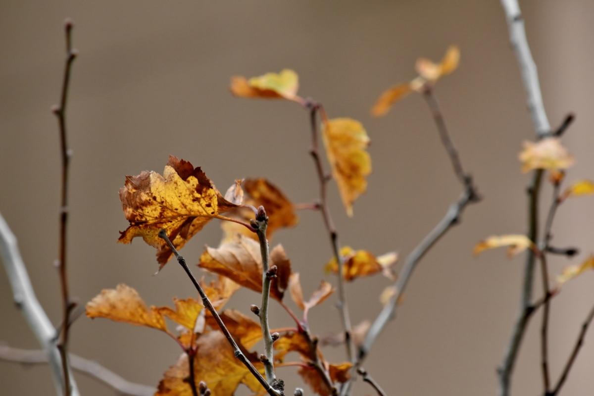 syyskaudella, haara, oksat, kuiva kausi, Keltaisia lehtiä, puu, talvi, lehti, Luonto, pensas