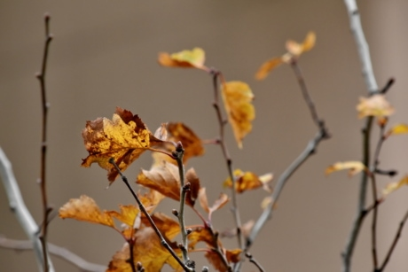 autumn season, branch, branches, dry season, yellow leaves, tree, winter, leaf, nature, shrub