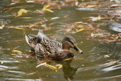autumn season, duck, natural habitat, wildlife, waterfowl, pool, duck bird, bird, swimming, mallard