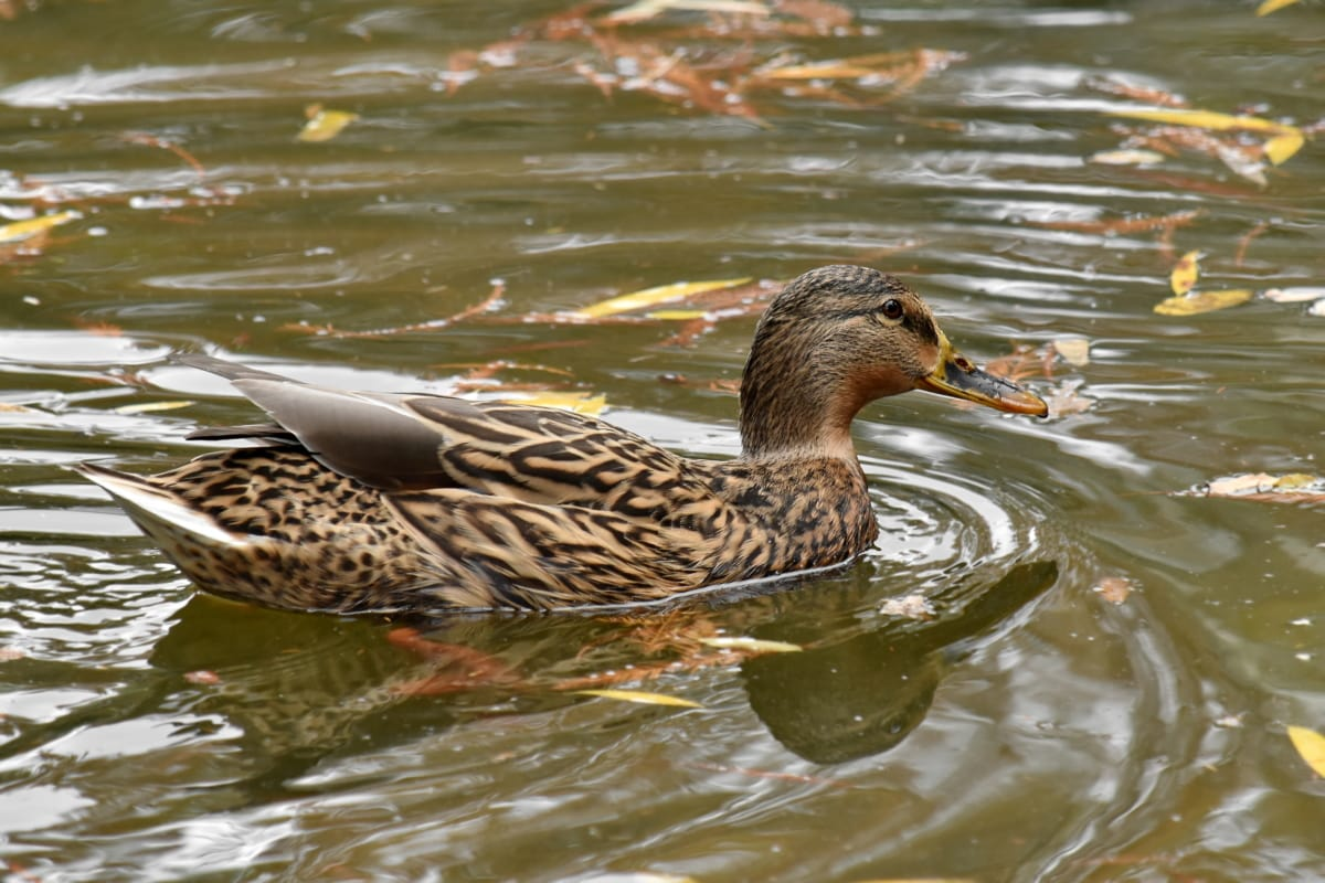 autumn season, camouflage, duck, mallard, swimming, wildlife, bird, waterfowl, duck bird, water