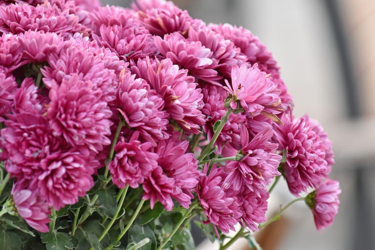 chrysanthemum, pinkish, pink, nature, leaf, plant, cluster, bouquet, flora, flower