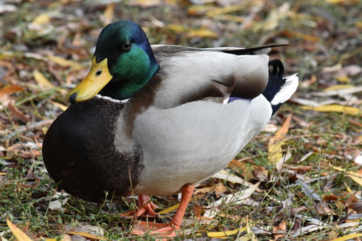 saison de l'automne, coloré, canard, Portrait, vue de côté, faune, Canard colvert, oiseau de canard, nature, sauvagine