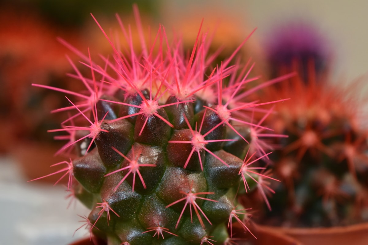 cactus, close-up, desert plant, pink, thorn, succulent, sharp, flora, spike, plant