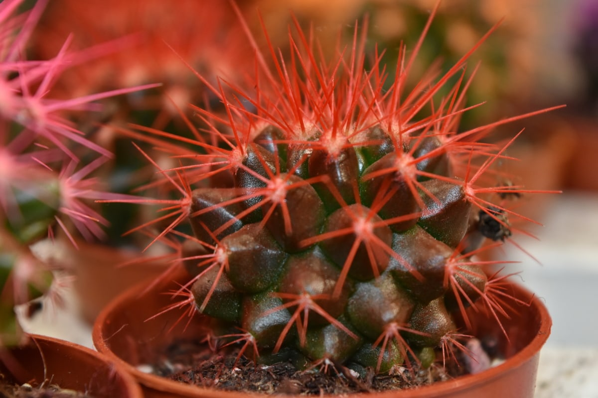 cactus, flowerpot, pinkish, red, thorn, plant, sharp, nature, flora, succulent