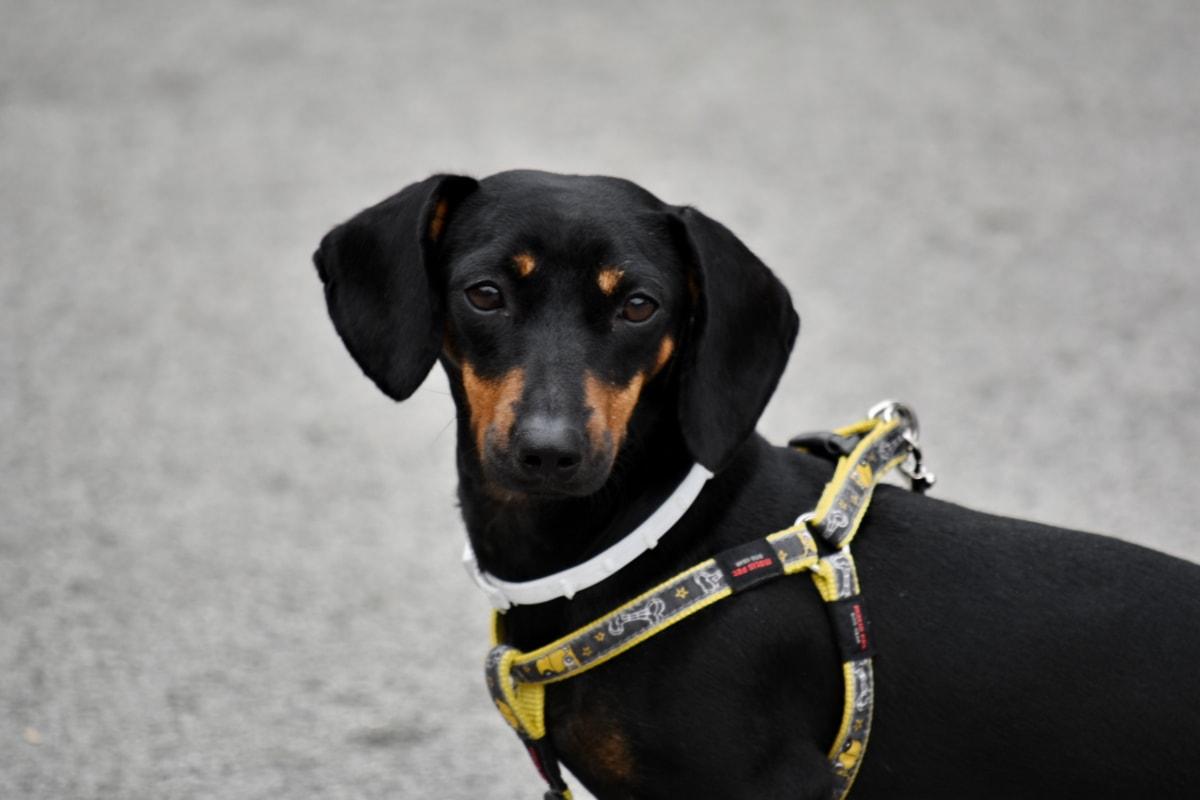 adorable, black, collar, dog, head, leash, purebred, side view, pet, cute