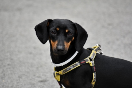 adorable, black, collar, dog, head, leash, purebred, side view, pet, cute