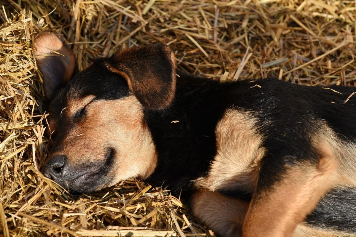 adorable, dog, puppy, sleeping, straw, cute, pet, canine, hay, animal