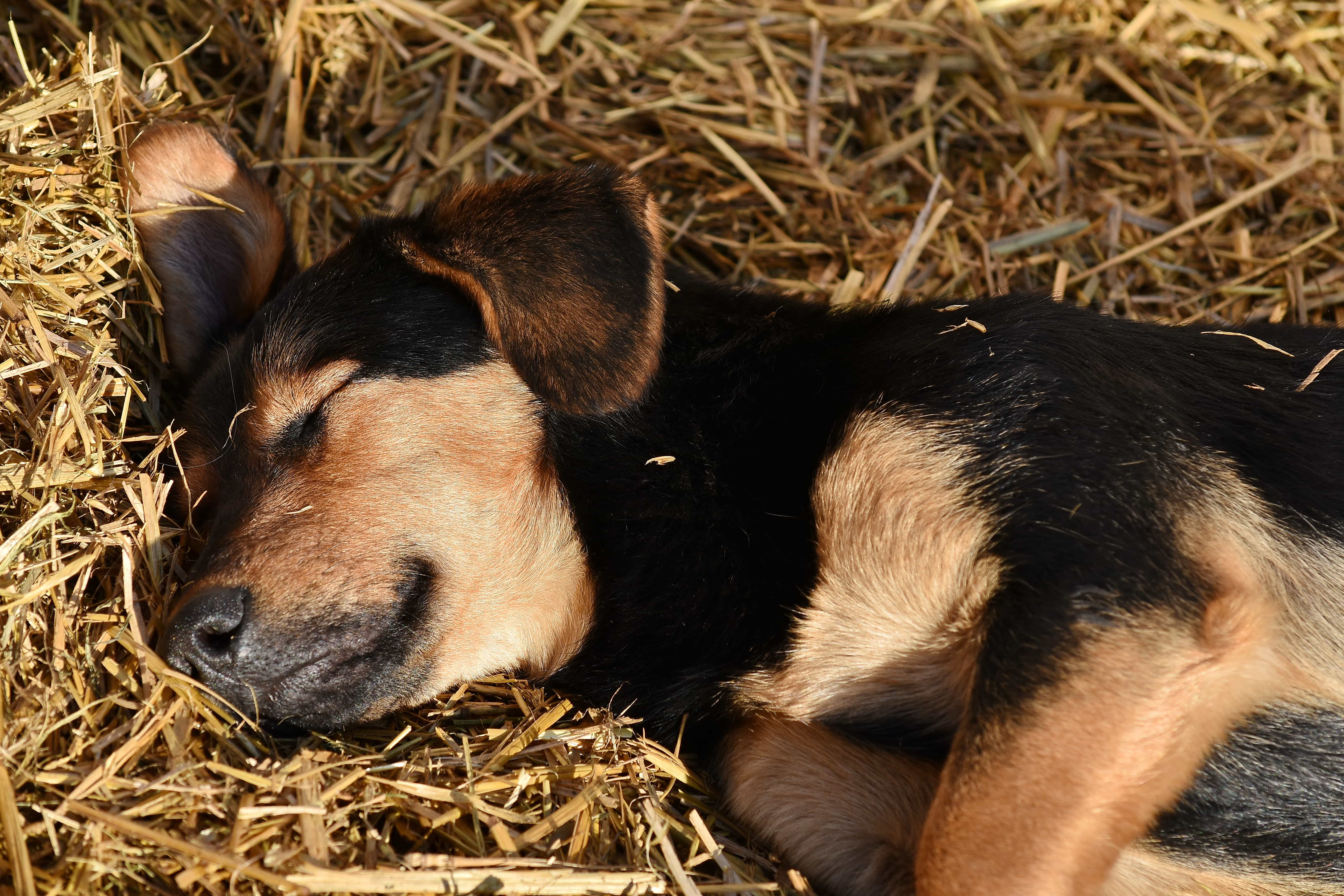 Free Picture Adorable Dog Puppy Sleeping Straw Cute Pet Canine Hay Animal