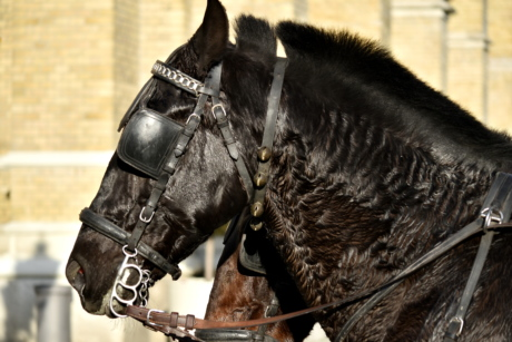 black, harness, head, side view, horse, stallion, cavalry, animal, mare, portrait