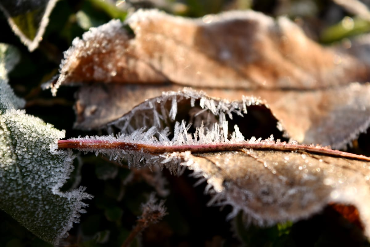 cold, dry, frosty, ground, leaves, yellowish brown, nature, wood, winter, outdoors