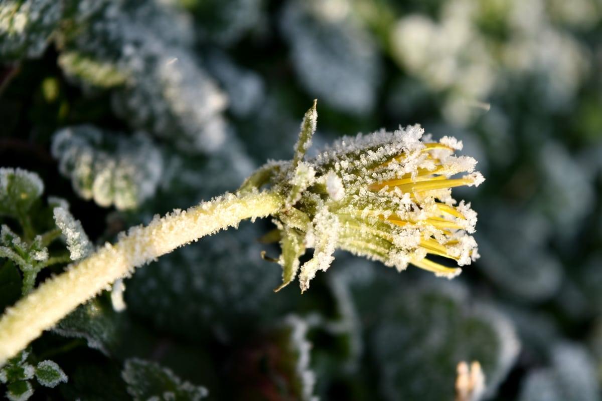 κρύο, πικραλίδα, λουλούδι, παγωμένος, κρυστάλλινο πάγο, αγριολούλουδο, Χειμώνας, φυτό, φύση, σε εξωτερικούς χώρους
