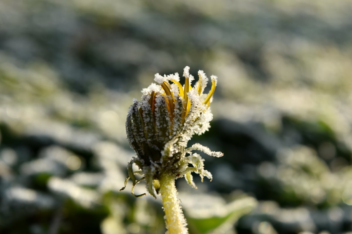 cold, dandelion, flower, frost, frozen, snowflakes, outdoors, plant, nature, blur