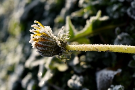 cold, dandelion, frost, frozen, green grass, green leaves, ice crystal, plant, flower, nature