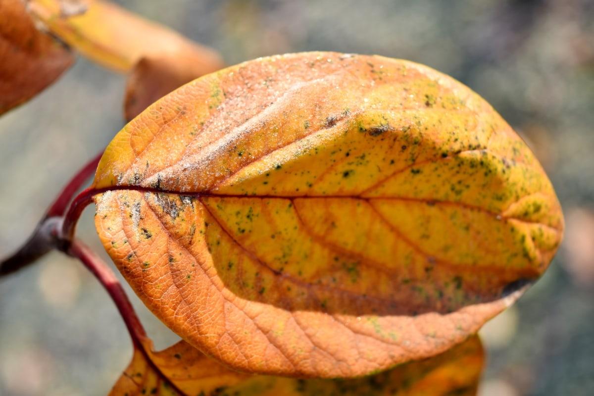 tør, Frost, blad, vinter, gule blade, træ, natur, farve, flora, udendørs