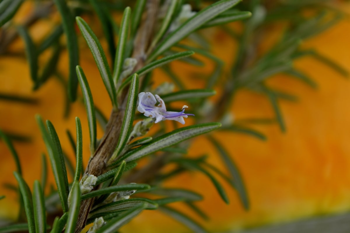 branches, twig, wildflower, rosemary, nature, plant, herb, leaf, tree, flora