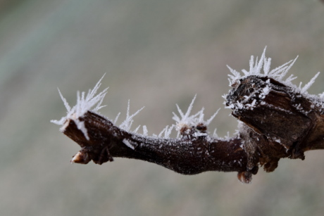 branch, frosty, ice crystal, vineyard, nature, frost, winter, insect, animal, larva