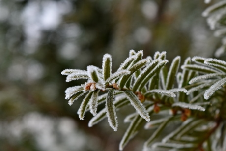 branches, cold, conifer, freeze, frost, green leaves, ice crystal, nature, snow, branch