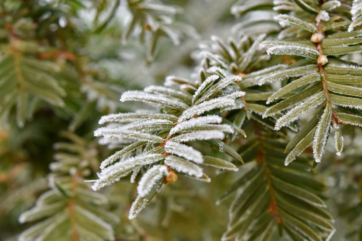 branches, conifer, freeze, frost, frozen, green leaves, nature, evergreen, winter, branch