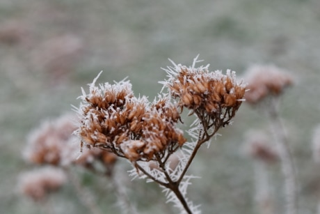 branches, dry season, frost, ice crystal, winter, plant, nature, herb, outdoors, flower