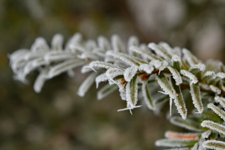 conifer, frost, frosty, frozen, white spruce, plant, winter, snow, herb, nature